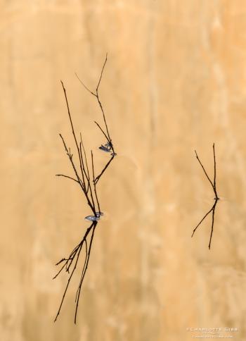Twigs and El Capitan, Merced River, Feb. 2014