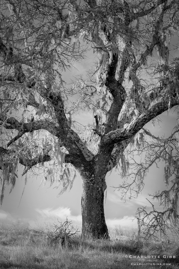 Oak Hanging with Moss, Feb. 2014